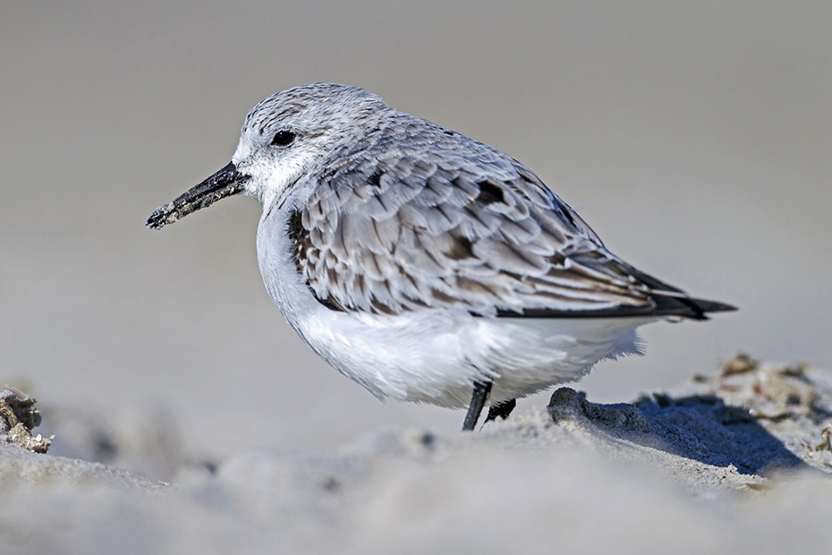 Sanderling, viele Altvoegel verlassen im Juli und Anfang August die Brutgebiete, die Jungvoegel beginnen ihren Zug in den Sueden Ende August und im September  -  (Foto Winterkleid), Calidris alba, Sanderling, most adults leave the breeding grounds in July and early August, the juveniles leave in late August and early September  -  (Photo winter plumage)