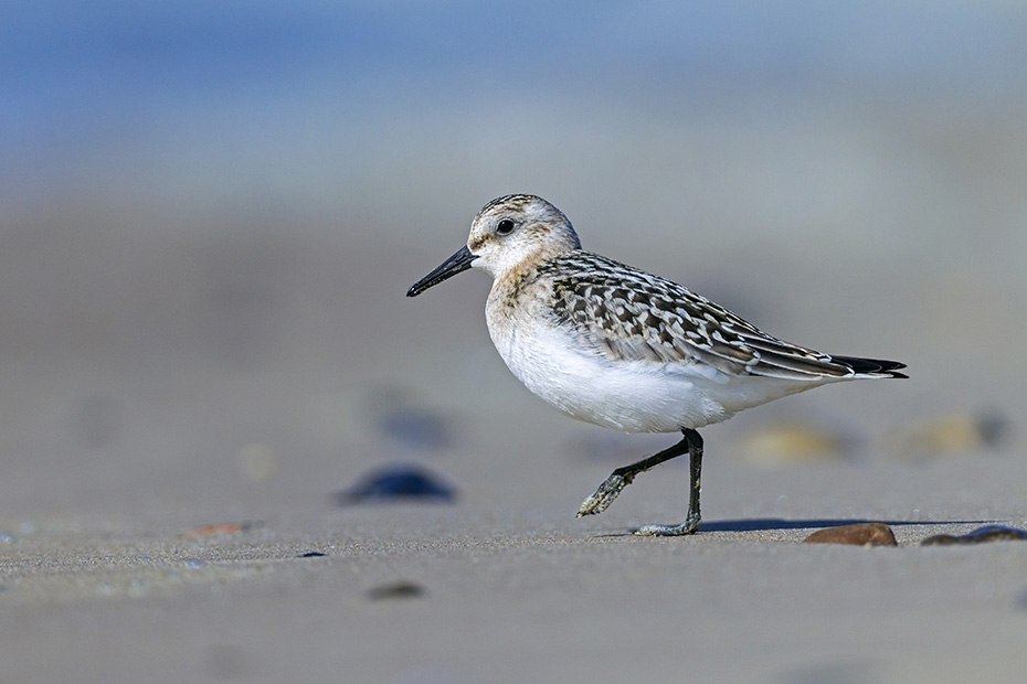 Sanderling, seine Brutgebiete liegen im arktischen Norden Europas, Nordamerikas und Asiens  -  (Foto Sanderling im Jugendkleid), Calidris alba, Sanderling breeds in the High Arctic regions of Europe, North America and Asia  -  (Photo Sanderling in juvenile plumage)