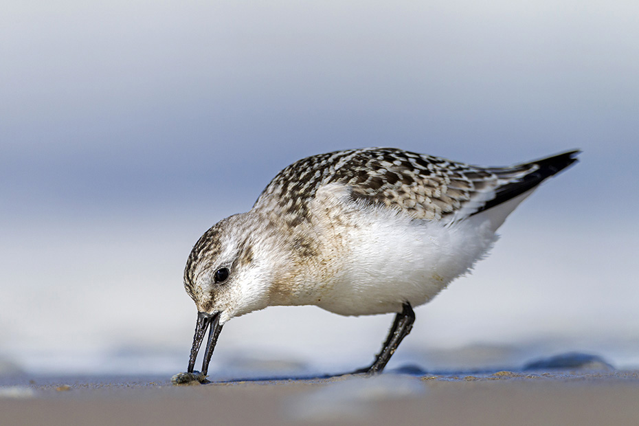 Sanderling, viele Altvoegel verlassen im Juli und Anfang August die Brutgebiete, die Jungvoegel beginnen ihren Zug in den Sueden Ende August und im September  -  (Foto Sanderling Jungvogel), Calidris alba, Sanderling, most adults leave the breeding grounds in July and early August, the juveniles leave in late August and early September  -  (Photo Sanderling juvenile bird)