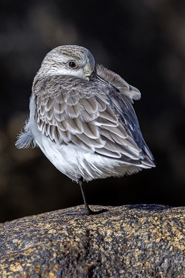Sanderling gehoert als Zugvogel, zu den sogenannten Langstreckenziehern  -  (Foto Sanderling im Winterkleid ruht auf einem Fels an der Nordseekueste), Calidris alba, Sanderling is a long-distance migrant  -  (Photo Sanderling in non-breeding plumage rests on a rock on the North Sea coast)