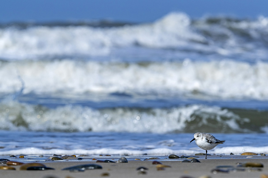 Ein Sanderling im Schlichtkleid ruht entspannt am Spuelsaum an der Daenischen Nordseekueste, Calidris alba, A Sanderling in non-breeding plumage rests relaxed at the wash margin on the Danish North Sea coast