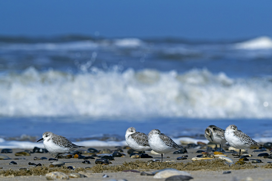 Sanderling, viele Altvoegel verlassen im Juli und Anfang August die Brutgebiete, die Jungvoegel beginnen ihren Zug in den Sueden Ende August und im September  -  (Foto Sanderlinge rasten bei Sturm am Strand), Calidris alba, Sanderling, most adults leave the breeding grounds in July and early August, the juveniles leave in late August and early September  -  (Photo Sanderlings resting on the beach during a storm)