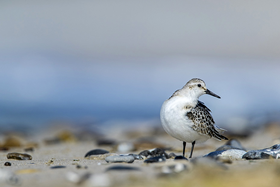 Ein Sanderling im Jugendkleid bei der Gefiederpflege, Calidris alba, A this years Sanderling preens his plumage