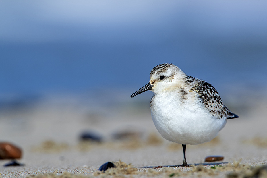 Ein Sanderling im Jugendkleid steht ruhend am Strand, Calidris alba, A Sanderling in juvenile plumage stands resting on the beach