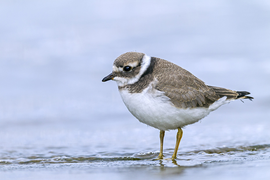 Sandregenpfeifer, das Wattenmeer gilt waehrend des Fruehjahrszugs, als wichtigster Rastplatz weltweit  -  (Foto Sandregenpfeifer im Jugendkleid), Charadrius hiaticula, Common Ringed Plover, the tidal flats of the North Sea coast are considered the most important rest area worldwide during the spring migration  -  (Great Ringed Plover - Photo Common Ringed Plover in juvenile plumage)