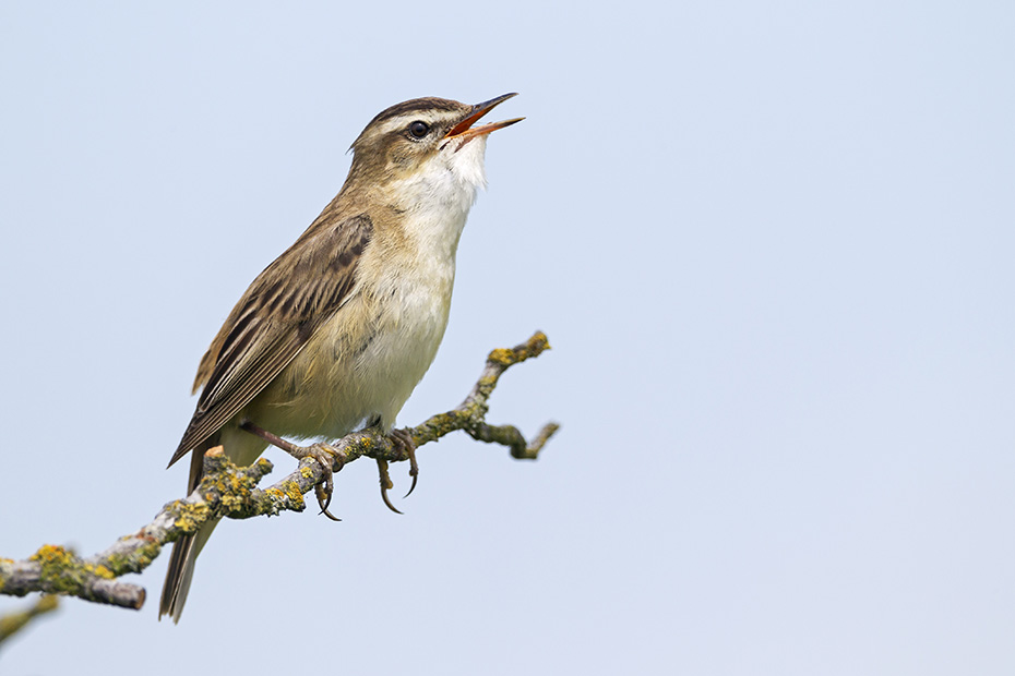 Schilfrohrsaenger, das Weibchen legt in der Regel 3 - 6 Eier  -  (Foto Schilfrohrsaenger Maennchen Reviergesang), Acrocephalus schoenobaenus, Sedge Warbler lays usually 3 to 6 eggs  -  (Photo Sedge Warber singing)