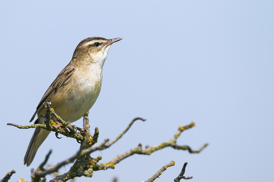 Schilfrohrsaenger ernaehren sich ueberwiegend von Insekten und anderen Wirbellosen  -  (Foto Schilfrohrsaenger Altvogel), Acrocephalus schoenobaenus, Sedge Warbler feeds mainly on insects and other invertebrates  -  (Photo Sedge Warber adult bird)