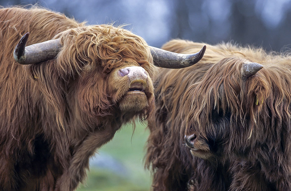 Schottisches Hochlandrind, das Fleisch ist sehr cholesterinarm - (Foto flehmender Bulle und Kalb), Bos primigenius taurus - Bos taurus, Highland Cattle, their meat is low in cholesterol - (Photo flehming bull and calf)