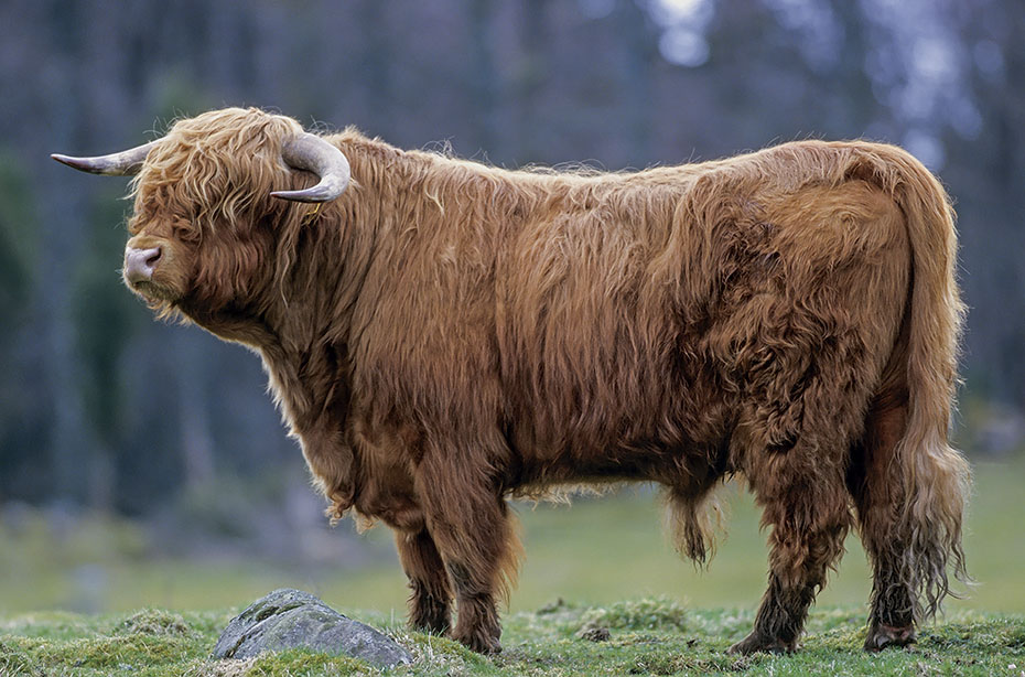Schottisches Hochlandrind, die Bullen dominieren im Alter von 2 Jahren erwachsene Weibchen - (Foto Bulle), Bos primigenius taurus - Bos taurus, Highland Cattle, young bulls would dominate adult cows when they 2 years of age - (Photo bull)