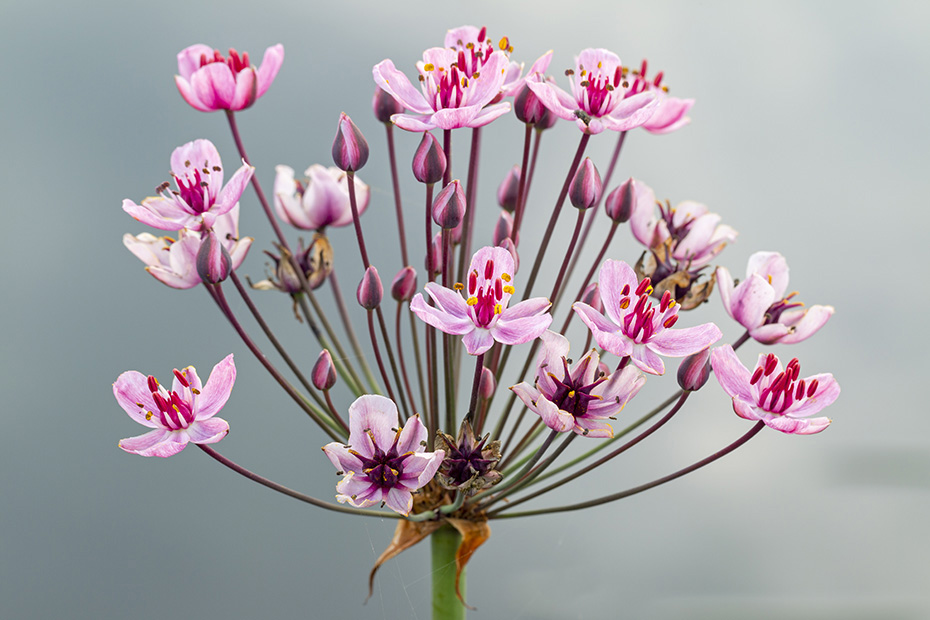 Schwanenblume, die Bluete besteht aus drei Bluetenblaettern  -  (Wasserviole - Foto Schwanenblume Bluetendolde), Butomus umbellatus, Flowering Rush, the flower has 3 petals  -  (Grass Rush - Photo Flowering Rush umbel)