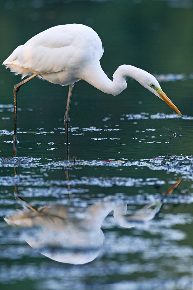 Silberreiher erreichen ein Durchschnittsgewicht von 1 - 1,5 kg  -  (Foto Silberreiher auf der Jagd nach Fischen), Ardea alba, Great Egret has an average weight of 1 to 1,5 kg  -  (Large Egret - Photo Great Egret hunting for fish)