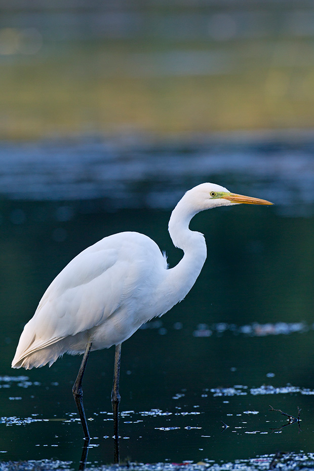 Silberreiher sind sehr gesellige Voegel  -  (Foto Silberreiher im Ruhekleid), Ardea alba, Great Egret is a gregarious species  -  (Great White Heron - Photo Great Egret adult bird in non-breeding plumage)