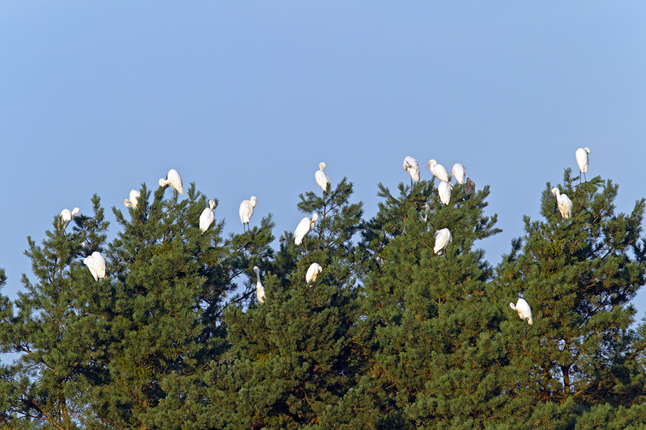 Silberreiher sind Koloniebrueter, bekannt sind diese Nistplaetze als sogenannte Reiherkolonien  -  (Foto Silberreiher am Schlafplatz), Ardea alba, Great Egret breeds in colonies known as heronries  -  (Large Egret - Photo Great Egret at roosting place)