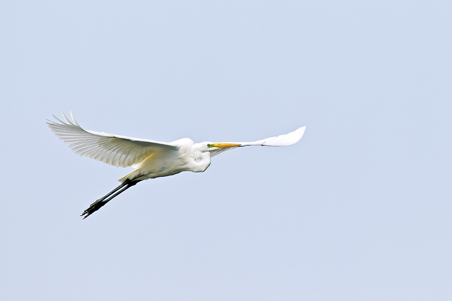 Silberreiher ernaehren sich von Fischen, Amphibien, Reptilien, Kleinsaeugern und Insekten  -  (Foto Silberreiher Flugfoto), Ardea alba, Great Egret feeds on fish, amphibians, reptiles, small mammals and insects  -  (Common Egret - Photo Great Egret in flight)