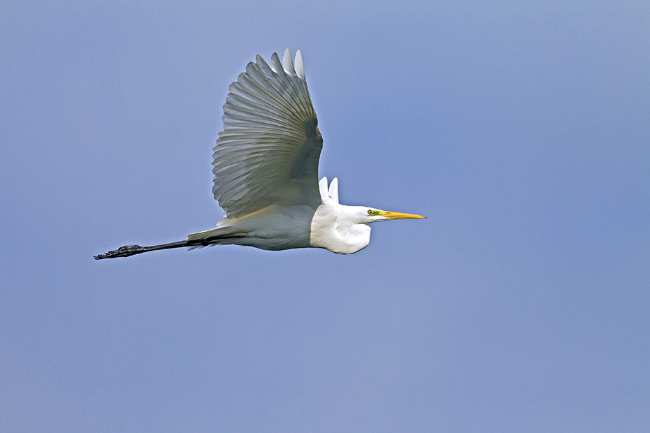 Silberreiher erreichen nach 2 Jahren die Geschlechtsreife  -  (Foto Silberreiher Altvogel im Flug), Ardea alba, Great Egret reach sexual maturity after 2 years of age  -  (Common Egret - Photo Great Egret adult bird in flight)