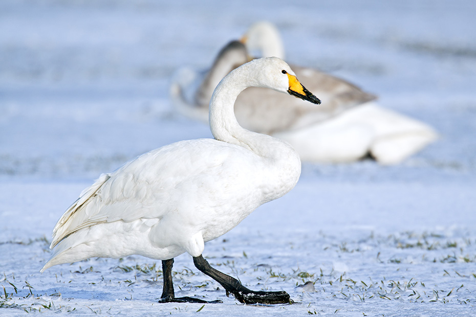 Singschwaene sind sehr seltene Brutvoegel in Deutschland, in Grossbritanien, Irland und Schottland  -  (Foto Altvogel auf einer schneebedeckten Wiese), Cygnus cygnus, Whooper Swan, they are rare breeders in Germany, Great Britain, Ireland and Scotland  -  (Photo adult bird on a snow-covered meadow)