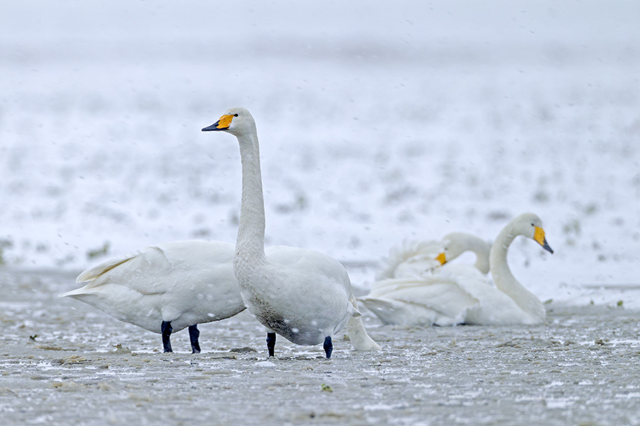 Singschwan, beide Geschlechter sehen identisch aus  -  (Foto Altvoegel und Jungvogel auf einer schneebedeckten Wiese), Cygnus cygnus, Whooper Swan, both sexes look identical  -  (Photo adult birds and cygnet on a snow-covered meadow)