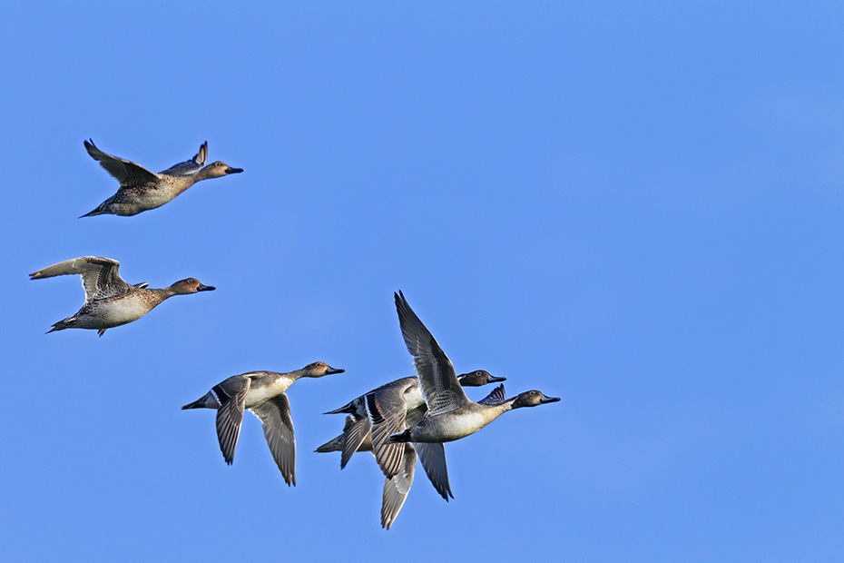 Spiessenten sind Bodenbrueter  -  (Foto Maennchen im Ruhekleid und Weibchen im Flug), Anas acuta, Northern Pintail nests on the ground  -  (Pintail - Photo drakes in winter plumage and females in flight)