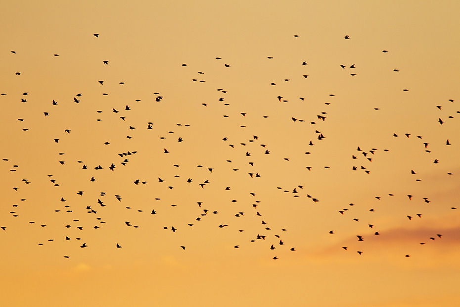 Star, die Bildung grosser Schwaerme und die Nutzung gemeinsamer Schlafplaetze dient im wesentlichen der Vermeidung von Angriffen durch Greifvoegel  -  (Gemeiner Star - Foto Starenschwarm am Abendhimmel), Sturnus vulgaris, Starling, these dense concentrations of birds are thought to be a defence against attacks by birds of prey  -  (Common Starling - Photo Starling flock of birds at red sky)