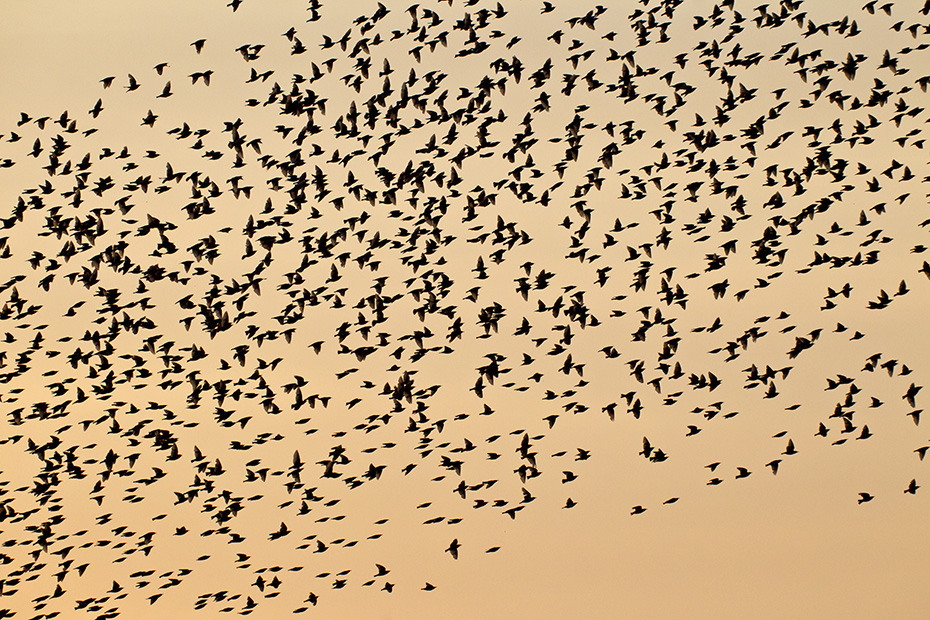 Star, die grossen Schwaerme ziehen Fressfeinde an, aber bedingt durch die grosse Masse, ist das Praedationsrisiko gering  -  (Gemeiner Star - Foto Starenschwarm am Abendhimmel), Sturnus vulgaris, Starling, the large flocks attract predators, but due to the large mass, the risk of predation is low  -  (European Starling - Photo Starling swarm of birds at red sky)