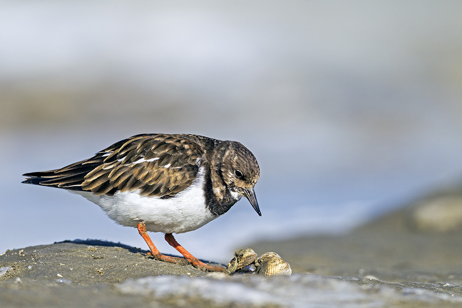 Steinwaelzer, das Gelege besteht in der Regel aus 4 Eiern  -  (Foto Steinwaelzer im Ruhekleid), Arenaria interpres, Ruddy Turnstone usually lays 4 eggs  -  (Turnstone - Photo Ruddy Turnstone in non-breeding plumage)