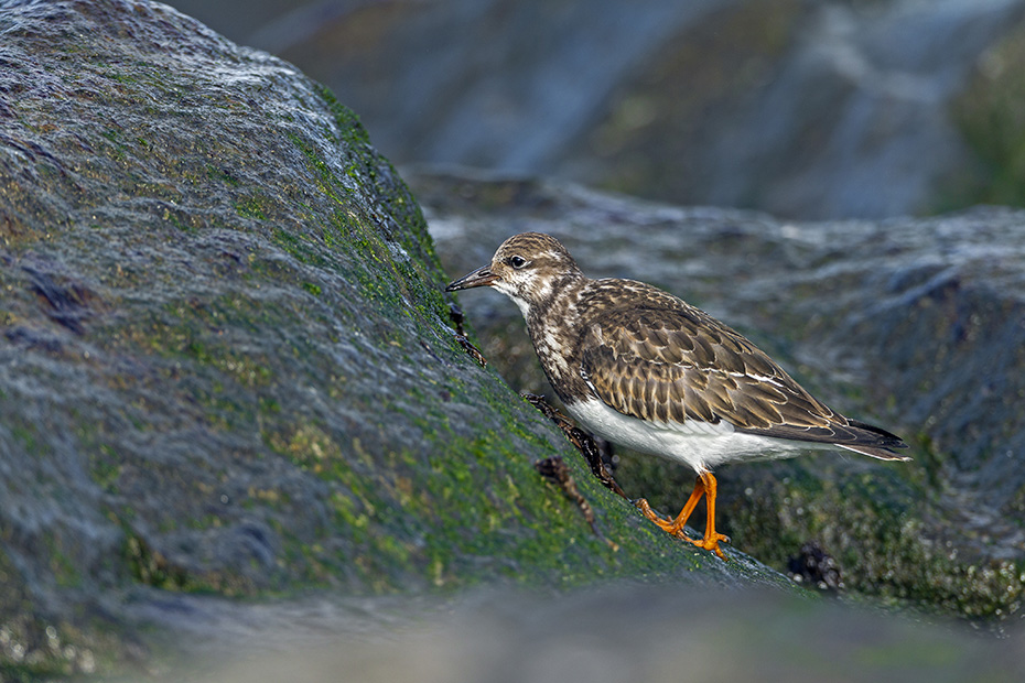 Steinwaelzer, das Gelege wird von beiden Elterntieren bebruetet  -  (Foto Steinwaelzer frisst eine Herzmuschel), Arenaria interpres, Ruddy Turnstone, both sexes incubate the eggs  -  (Turnstone - Photo Ruddy Turnstone eats a cockle)