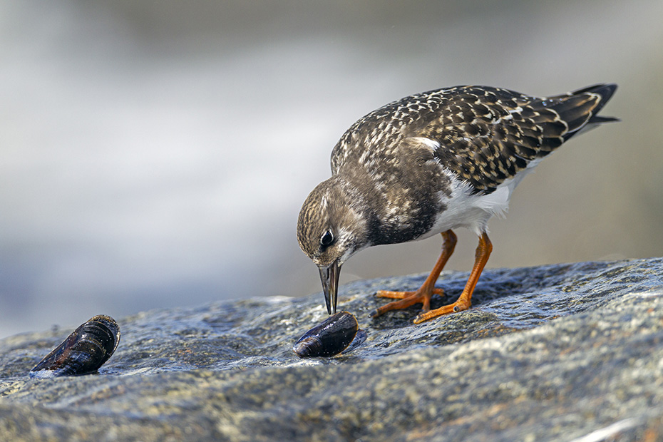Steinwaelzer im Schlichtkleid an der Daenischen Nordseekueste, Arenaria interpres, Ruddy Turnstone in non-breeding plumage  at the danish North Sea coast
