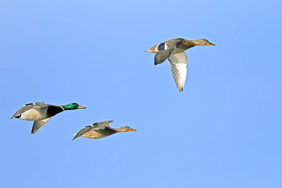 Stockente, die Geschlechter koennen anhand des Gefieders problemlos unterschieden werden  -  (Europaeische Stockente - Foto Stockentenpaar im Flug), Anas platyrhynchos, Mallard, the sexes are not identical in plumage  -  (Northern Mallard Duck - Photo Mallard pair in flight)