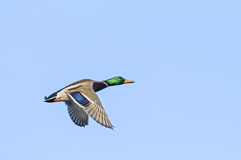 Stockenten erreichen eine Koerperlaenge von 58 cm  -  (Europaeische Stockente - Foto Stockente Maennchen im Flug), Anas platyrhynchos, Mallard has a body length of 58 cm  -  (Mallard Duck - Photo Mallard male in flight)