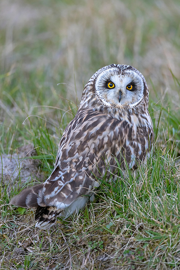 Sumpfohreule, die Brutsaison auf der Nordhalbkugel beginnt im Maerz und endet im Juni, Asio flammeus, Short-eared Owl, the breeding season in the northern hemisphere lasts from March to June