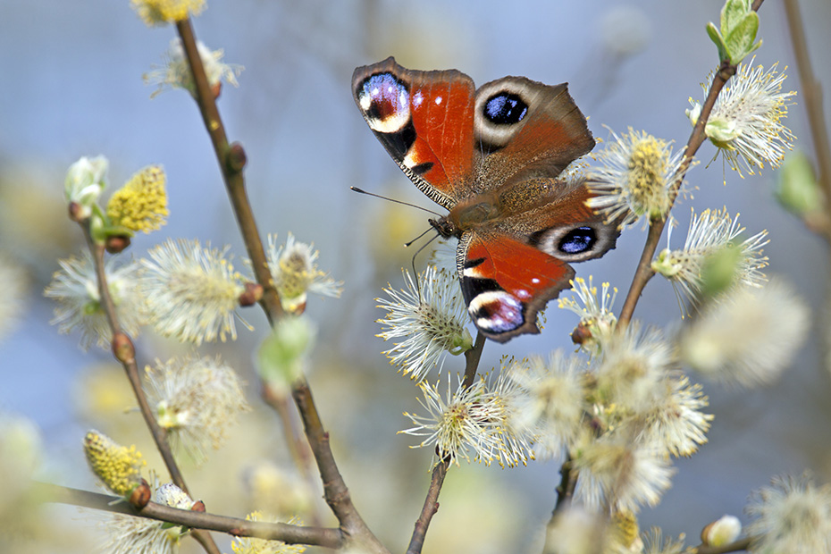 Tagpfauenaugen ueberwintern gerne in Gebaeuden und Baumhoehlen  -  (Foto Tagpfauenauge auf Weidenkaetzchen), Aglais io, Peacock often wintering in buildings or trees  -  (European Peacock - Photo Peacock on willow catkins)