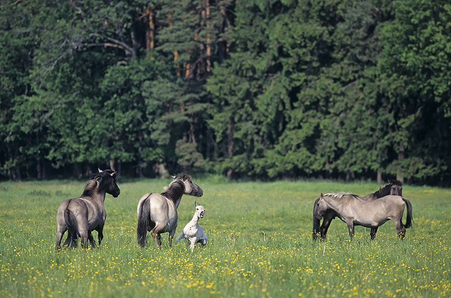 Konik - Hengst attackiert Stute und testet die Paarungsbereitschaft - (Waldtarpan - Rueckzuechtung), Equus ferus caballus - Equus ferus ferus, Heck Horse Stallion attacked mare and tests the receptiveness - (Tarpan - breeding back)