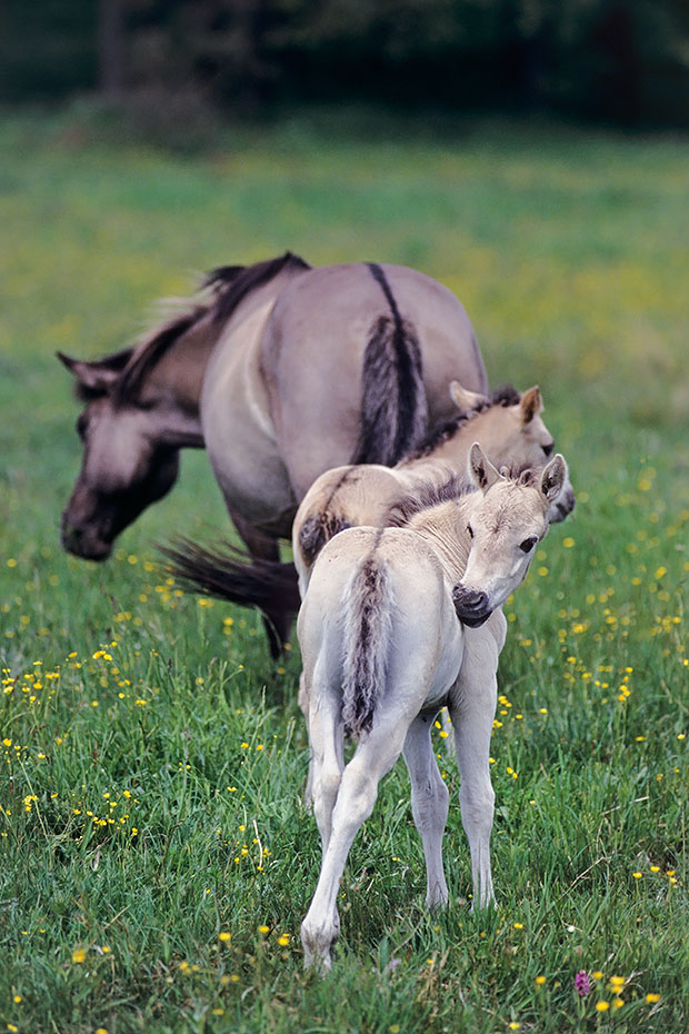Konik - Stute mit Fohlen auf einer Wiese mit Hahnenfuss - (Waldtarpan - Rueckzuechtung), Equus ferus caballus - Equus ferus ferus, Heck Horse mare with foals on a meadow with Buttercup - (Tarpan - breeding back)