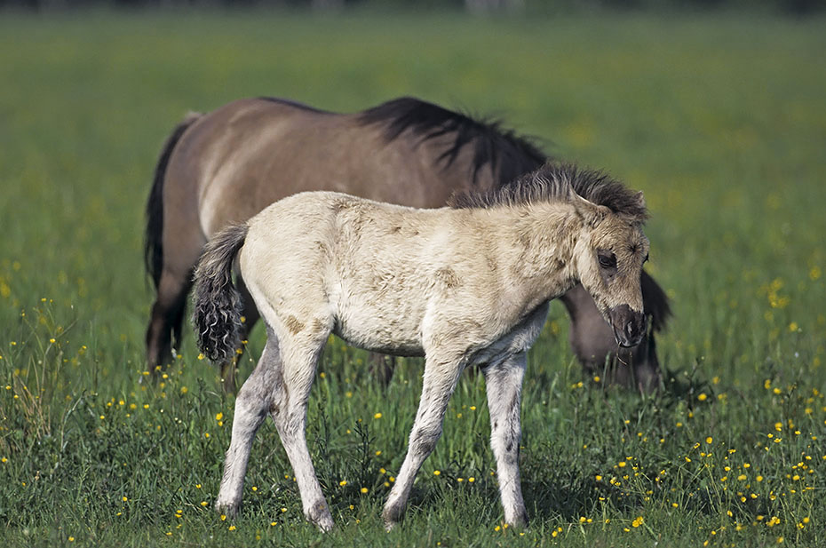 Konik - Fohlen und Stute auf einer Wiese mit Hahnenfuss - (Waldtarpan - Rueckzuechtung), Equus ferus caballus - Equus ferus ferus, Heck Horse foal and mare on a meadow with Buttercup - (Tarpan - breeding back)