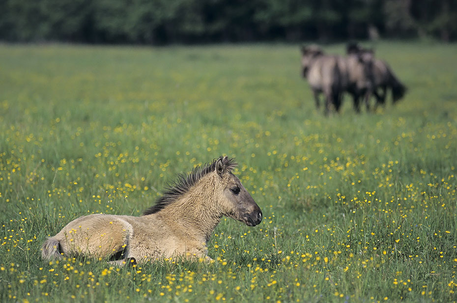 Konik - Stuten und Fohlen auf einer Wiese mit Hahnenfuss - (Waldtarpan - Rueckzuechtung), Equus ferus caballus - Equus ferus ferus, Heck Horse mares and foal on a meadow with Buttercup - (Tarpan - breeding back)