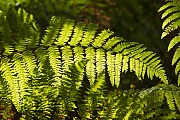 Adlerfarn, das geringe Gewicht der Sporen hat fuer eine weltweite Ausbreitung dieser Farnart gesorgt  -  (Foto Farnwedel), Pteridium aquilium, Eagle Fern, the extreme lightless of its spores has led to its global distribution  -  (Common Bracken - Photo fern frond)