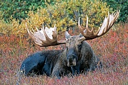Elche koennen in Gefangenschaft ein Hoechstalter von 27 Jahren erreichen  -  (Alaska-Elch - Foto kapitaler Elchbulle in der Tundra), Alces alces - Alces alces gigas, Moose, the maximum lifespan in captivity is 27 years of age  -  (Alaskan Moose - Photo bull Moose resting)
