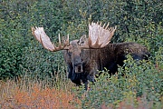 Elch, in der Brunft suchen Bullen die Weibchen auf, um sich mit ihnen zu paaren  -  (Alaska-Elch - Foto kapitaler Elchschaufler), Alces alces - Alces alces gigas, Moose, in the mating season, the bulls will seek several cows to breed with  -  (Alaska Moose - Photo bull Moose)