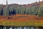 Elch, nur den Maennchen wachsen Geweihe  -  (Alaska-Elch - Foto Elchschaufler an einem Tundrasee), Alces alces - Alces alces gigas, Moose, only the bull Moose grow antlers  -  (Alaska Moose - Photo bull Moose at a lake in the tundra)