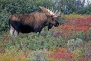 Elche koennen taeglich mehr als 32kg Nahrung aufnehmen  -  (Alaska-Elch - Foto Elchbulle in der herbstfarbenen Tundra), Alces alces - Alces alces gigas, Moose can eat up to 32kg of food per day  -  (Alaska Moose - Photo bull Moose in indian summer)