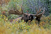 Elch, das Wachstum der Geweihe ist nach circa 5 Monaten abgeschlossen  -  (Alaska-Elch - Foto Elchschaufler vor dem Beginn der Brunft), Alces alces - Alces alces gigas, Moose, the antlers take about 5 months to fully develop  -  (Giant Moose - Photo bull Moose)