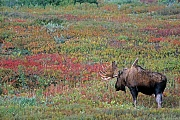Elch, in Nordamerika werden mehr Menschen von Elchen verletzt, als von allen anderen Wildtieren  -  (Alaska-Elch - Foto Elchschaufler in der Brunft), Alces alces - Alces alces gigas, Moose in North America, they injure more people than any other wild mammal  -  (Alaska Moose - Photo bull Moose in the rut)