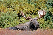 Elche sind die zweitgroessten Landsaeuger Europas und Nordamerikas  -  (Alaska-Elch - Foto Elchschaufler ruht in der Tundra), Alces alces - Alces alces gigas, Moose are the second largest land animals in Europe and North America  -  (Alaska Moose - Photo bull Moose resting)