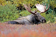 Elche sind die einzige Hirschart, die auch unter Wasser fressen kann  -  (Alaska-Elch - Foto Elchbulle), Alces alces - Alces alces gigas, Moose are the only deer that are capable of feeding underwater  -  (Giant Moose - Photo bull Moose)