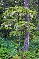 Montain Hemlock with beard lichen in rainforest at the Pacific coast of Alaska