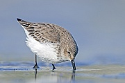 Alpenstrandlaeufer sind Zugvoegel  -  (Foto Alpenstrandlaeufer im Watt auf Nahrungssuche), Calidris alpina, Dunlin is a migratory bird  -  (Photo Dunlin in non-breeding plumage foraging)