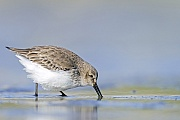 Alpenstrandlaeufer, gewoehnlich enthaelt ein Gelege 4 Eier  -  (Foto Alpenstrandlaeufer im Wattenmeer auf Nahrungssuche), Calidris alpina, Dunlin usually lays 4 eggs  -  (Photo Dunlin in non-breeding plumage)