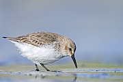 Alpenstrandlaeufer, nach einer Brutzeit von 3 Wochen schluepfen die Jungvoegel  -  (Foto Alpenstrandlaeufer im Wattenmeer auf Nahrungssuche), Calidris alpina, Dunlin incubate the eggs for about 3 weeks  -  (Photo Dunlin in non-breeding plumage)