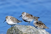 Alpenstrandlaeufer im Uebergangsgefieder vom Winter- zum Sommerkleid, deutlich ist zu erkennen, dass der Vogel im Vordergrund in Kuerze das Brutkleid traegt, waehrend das linke Tier noch das Winterkleid hat, Calidris alpina, Dunlin changes from winter plumage to summer plumage, you can clearly see, that the bird in the foreground wears the breeding plumage shortly, while the left animal still has the winter dress