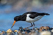Austernfischer, der Schnabel, die Beine und die Fuesse sind auffallend Rot  -  (Foto Austernfischer im Ruhekleid), Haematopus ostralegus, Eurasian Oystercatcher, the bill, legs and feet are red  -  (Photo Oystercatcher in winter plumage)